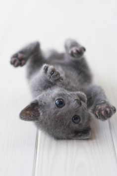 Russian Blue Kitten - another cute picture, they are so playful