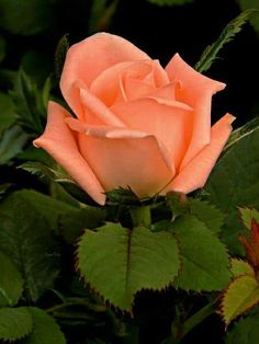 If you are thinking of rose gardening don't let this rumor stop you. While rose gardening can prove to be challenging, once you get the hang of it, it really isn't that bad. Beautiful Rose Flowers, Flowers Nature, Amazing Flowers, Beautiful Gardens, Beautiful Flowers, Rose Reference, Bouquet, Rosa Rose, Lavender Roses