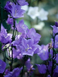 something enchanting about purple blooms :: 18 Best Plants for Cottage Gardens :: bellflowers
