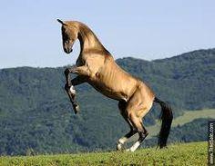 Image result for akhal teke horse