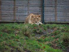 Lion At Dublin Zoo