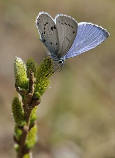 The Holly Blue (Celastrina argiolus) is a butterfly that belongs to the Lycaenids or Blues family and is native to Eurasia and North America. The Holly Blue is a beautiful butterfly, with pale silver-blue wings spotted with pale ivory dots
