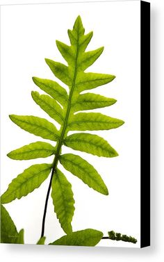 Fern Canvas Print by Christina Rollo.  All canvas prints are professionally printed, assembled, and shipped within 3 - 4 business days and delivered ready-to-hang on your wall. Choose from multiple print sizes, border colors, and canvas materials.