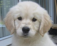 We have Golden Retriever Puppies available now! View our latest & upcoming litters. Call 705-322-6134. Goldnote Golden Retrievers - near Barrie Ontario.