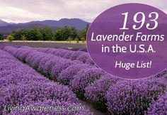 Lavender Farms in the USA
