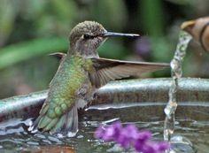 to bathe!  colibri para mi mami