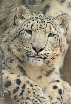 Doin' a heckin blep. Most Beautiful Animals, Majestic Animals, Beautiful Cats, Big Cats, Cool Cats, Cats And Kittens, The Lion Sleeps Tonight, Gato Grande, Clouded Leopard