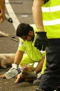 """""""Firefighter disregards operational protocol and stops to give aid to one of the pigs that fell from the truck carrying the animals to a slaughterhouse. Unfortunately, when this baby recovered, the pig continued his journey to the slaughterhouse. This pig only experienced a few moments of love and nurture... Thank you to the kind firefighter who had a heart."""" Can you imagine a world in which victims of an accident survive, only to then be still sent to die?"""