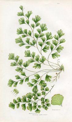 Maidenhair Fern, Ferns of Great Britain, Anne Pratt, (England, c. 1860s)