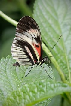 # butterfly # - Piano Key Butterfly Close Up.