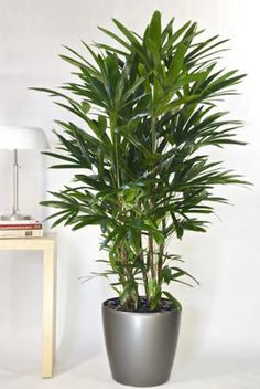 Good feng shui plants are easy to come by, you just have to know what to look for. Here is the list of top 10 air purifying plants with great feng shui energy, choose at least one for your home or office.: Lady Palm