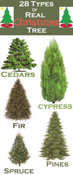 28 Types of Real Christmas Trees Around the World - Happy Christmas - Noel 2020 ideas-Happy New Year-Christmas Natural Christmas Tree, Real Christmas Tree, Winter Christmas, Christmas Tree Decorations, Christmas Ideas, Christmas Tree Farms, Christmas Images, Christmas Inspiration, Christmas 2019