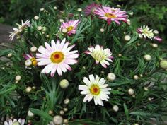 How to propagate and overwinter Marguerite Daisy plants