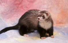 These 10 ferret care tips can enhance your ferret's life.