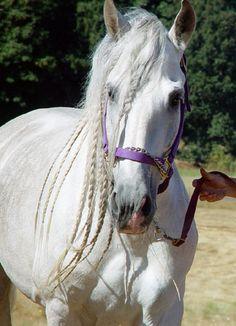 Mazarati DW    1999 Andalusian Stallion I want a horse soo baddd