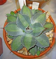 Agave parryi variegated