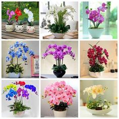 We give you access for the most amazing seeds in the world. Lotus Flower Seeds, Hibiscus Flowers, Flower Pots, Flowers Garden, Phalaenopsis Orchid, Orchid Plants, Orchids, Bonsai Seeds, Tree Seeds