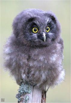baby grey owl