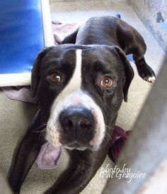 9/1 STILL THERE!!! A4865991 I am a friendly male black/white pit bull mix. I came to the shelter as a stray on August 12. available 8/16/15 NOTE: Pit bulls are not kept as long as others so those dogs are always urgent!! Baldwin Park shelter https://www.facebook.com/photo.php?fbid=1015986401746530&set=a.705235432821630&type=3&theater