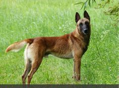 IPO and Schutzhunde belgian Malinois Dogs in the USA.