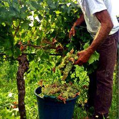 #vendemmia2103 #contradacavarretto #grecanico #settesoli #vinobianco #harvest #sicily