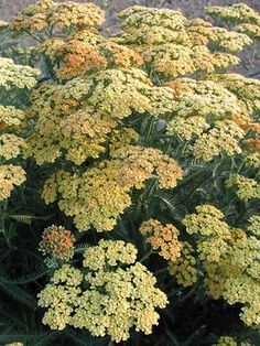 Achillea Terra Cotta - sale 4.75 - 3 ft, mid summer to early fall, yellow/orange - silvery frosted foliage, peach colors deepen to rich burndt orange - in tub