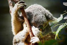 Koala, cute animal, sleep wallpaper