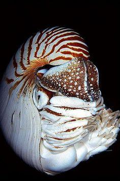 ^Nautilus another completely AMAZING species! Underwater Creatures, Underwater Life, Ocean Creatures, All Gods Creatures, Best Fishing Kayak, Beautiful Sea Creatures, Beautiful Ocean, Beautiful Places, Deep Sea