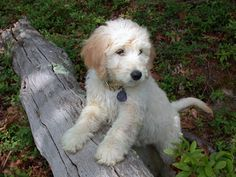 nothing compares to my goldendoodle baby teddy mr cutie but he's preeeeeeettttyyyy cute <3
