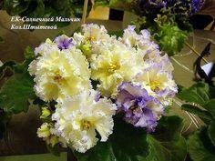 10X African Violet Saintpaulia Leaves – Russian Ukrainian Varieties | eBay