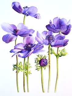 The Collections The Collections Botanical Drawings, Botanical Illustration, Watercolor Illustration, Botanical Flowers, Botanical Art, Anemone Flower, Flower Art, Fabric Painting, Painting & Drawing