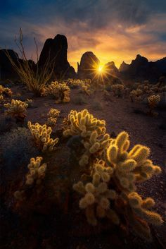 Kofa - Tiny little cute cactus trees that backlit nicely but dangerously stick on your skin if you touch them :)  Kofa, Arizona