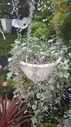 Dichondra Silver Falls - Containers - By Location - Flowers Home Flowers, Fall Flowers, Cut Flowers, Plants For Hanging Baskets, Fall Containers, Silver Falls, Cut Flower Garden, Seeds Online, Hardy Perennials