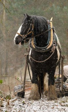 Shire Horse in snowstorm