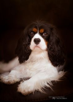 Dog portrait - King Charles Cavalier Spaniel - title Regal