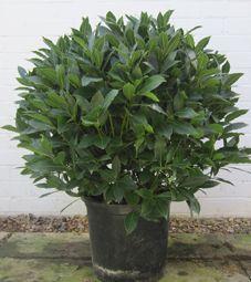 Bay tree ball | Laurus nobilis trees | Bay topiary balls