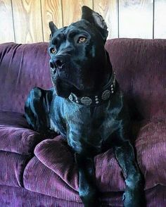 Beautiful cane corso wearing our collar