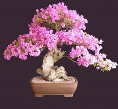 Pink Bougainvillea Upright style H 80cm