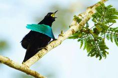 طائر الجنة, أجمل طيور العالم