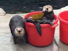 Sea otters make the world cuter!