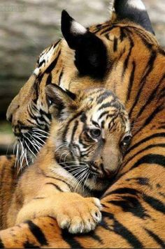 Tiger cub and mom. tiger cub and mom baby animals, animals and pets, cute Cute Baby Animals, Animals And Pets, Funny Animals, Mother And Baby Animals, Animals Planet, Animals Images, Wild Life Animals, Funny Cats, Happy Animals