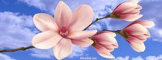 Keressük országunk legszebb magnóliáját! Keressük országunk legszebb magnóliáját! A Magnolia, azaz a liliomfa az egyik legszebben virágba boruló fafaj. Ezért most egy kis játékra hívunk! Keressük az ország legszebb, legimpozánsabb liliomfáját.  Egy nagyo... Magnolia, Plants, Magnolias, Plant, Planting, Planets