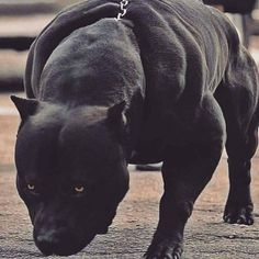 Uplifting So You Want A American Pit Bull Terrier Ideas. Fabulous So You Want A American Pit Bull Terrier Ideas. Big Dogs, Cute Dogs, Dogs And Puppies, Black Pitbull, Scary Dogs, Pit Bulls, Bully Dog, Bully Breed, Dog Best Friend