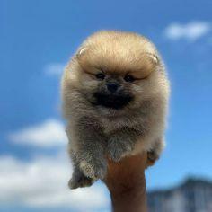 AVAILABLE PUPPIES | Allenglenteacuppups Teacup Poodle Puppies, Mini Poodle Puppy, Teacup Yorkie For Sale, Pomeranian Puppy For Sale, Tea Cup Poodle, Teacup Pomeranian, Toy Poodles For Sale, Pomeranian Facts, Little Puppies