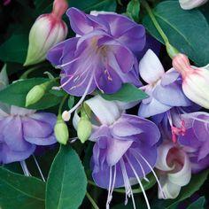 Fuchsia 'Fairy Blue' - Patio Fuchsias - The Vernon Geranium Nursery