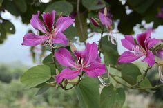 bauhinia purpurea - Orchid Tree
