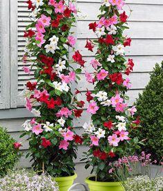 Patio Plants, Outdoor Plants, Plants Indoor, Container Plants, Container Gardening, Flower Seeds, Flower Pots, Jasmine Plant Indoor, Mandevilla Vine