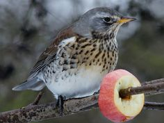 Fieldfare...new for me, first time I ever heard of them...apparently a UK bird. <3