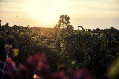 La Clape, Languedoc wines - Domaine Sarrat de Goundy. South of France.