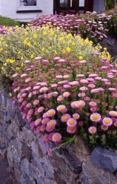 Erigeron 'Pink Jewel' - commonly known as Fleabane (sure I've got some front garden but went crazy this summer)